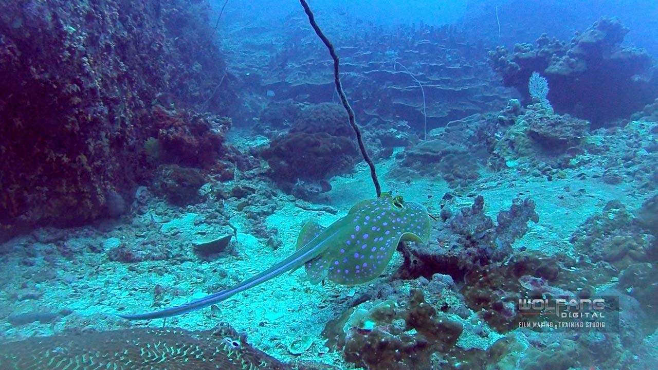 Blue spotted stingray moving gracefully through the reefs, captured with Sony Action Cam AS50