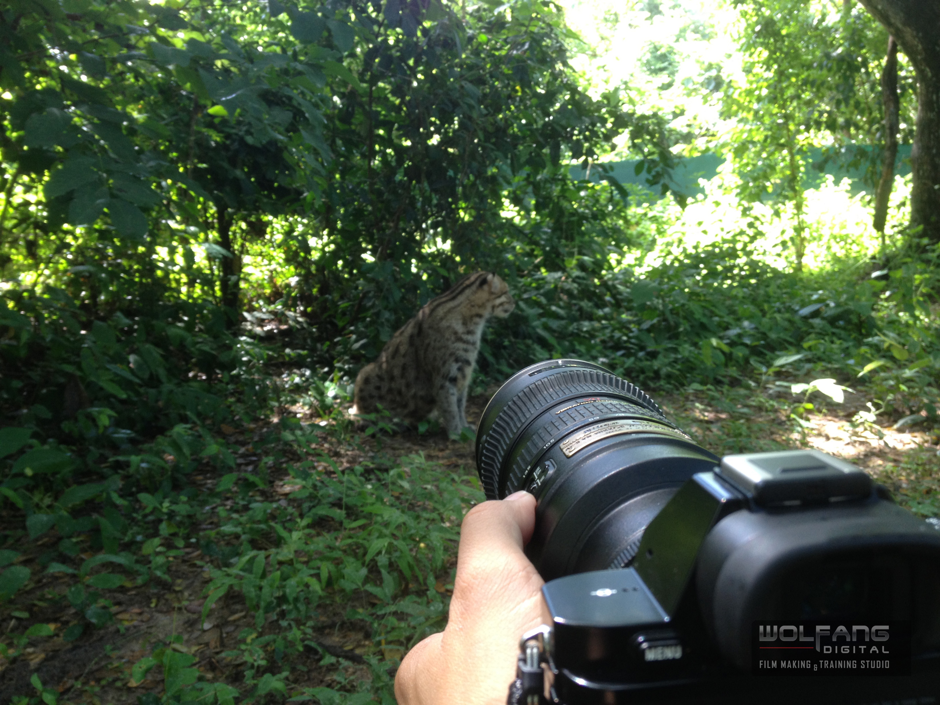 The rare fishing cat in Thailand- captured on Sony A7s with Nikon 70-200mm F2.8 lens