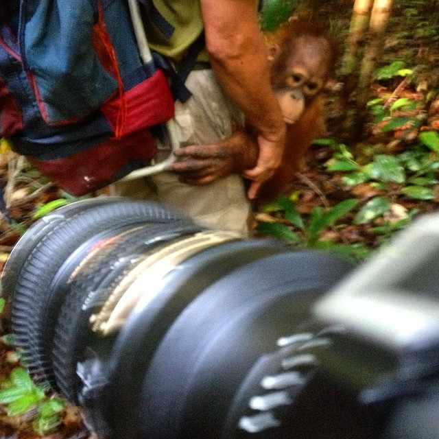 We trek into the jungle with young orangutans who have been rescued from captivity #wildlife #documentary #filmmaking #sonya7s #nikon70200 #nikon