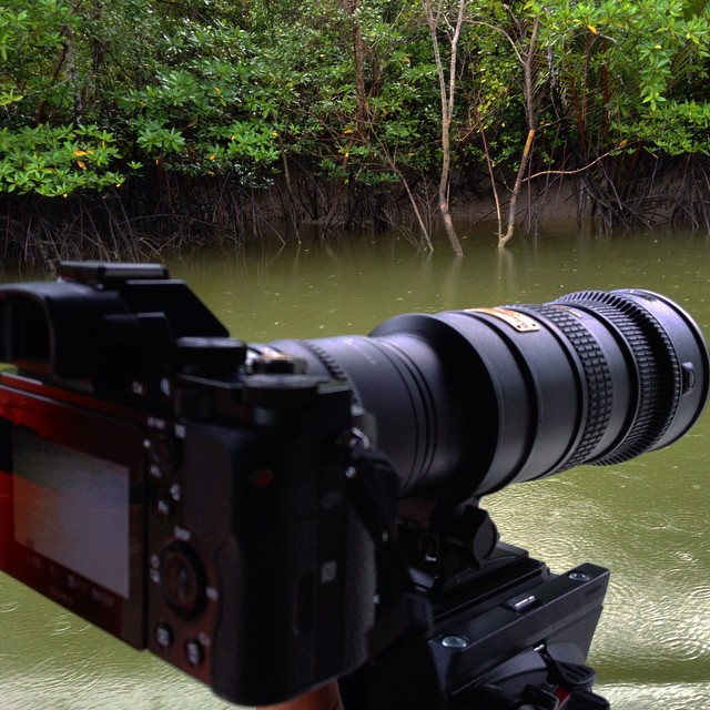 By boat in a mangrove swamp looking for wild crocodiles to film.  We found 3 lying motionless but when we approached, their raw speed is amazing #wildlife #documentary #filmmaking #sonya7s #nikon #nikon70200