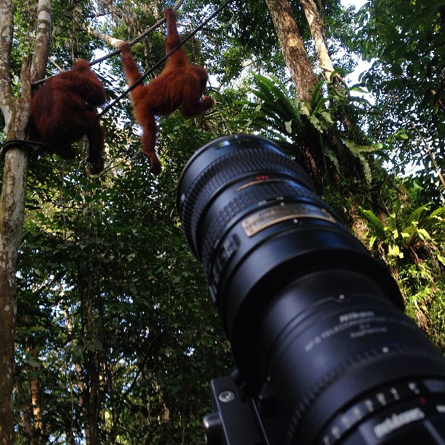 The alpha male orangutan Ritchie was a no-show but his grandmother turned up #wildlife #documentary #filmmaking #nikon70200 #sonya7s #borneo #malaysia