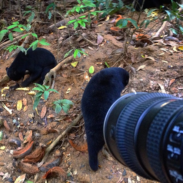 After a long wait, wild Bornean sun bears emerge from the jungle. It's a wrap! What? Not yet? Oh... #wildlife #documentary #filmmaking #borneo #nikon #nikon70200