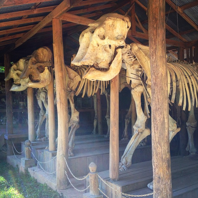 Our line of work takes us to interesting places. These elephant remains are seen at the #thailand #elephant conservation center #filmmaker #cameraop #wildlife #documentary