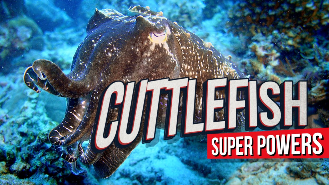 Cuttlefish in stealth mode by Baron Abas / WolFang Films